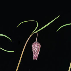 Snakeshead Fritillary: Fritillaria meleagris. Flower opening sequence. Not to scale.