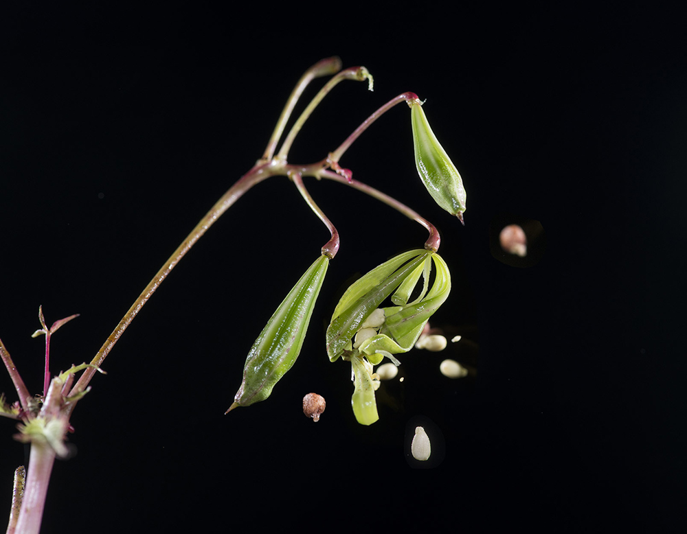 """Himalayan Balsam: Impatiens glandulifera. Seeds being shot out from """"exploding"""" seed pod"""