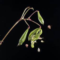 "Himalayan Balsam: Impatiens glandulifera. Seeds being shot out from ""exploding"" seed pod"