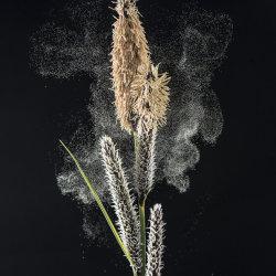 Lesser Pond Sedge: Carex acutiformis. Discharging pollen.