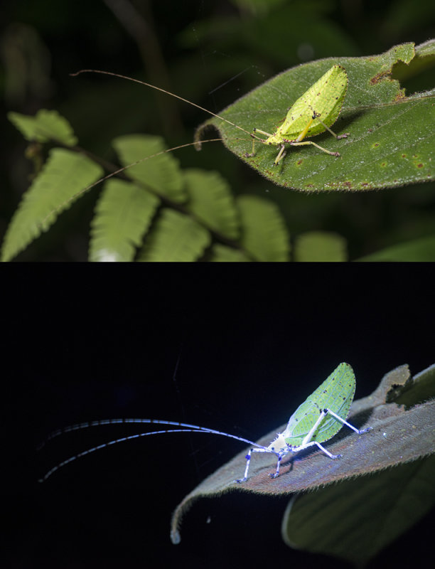Longhorn Grasshopper (Deispona sp.) Mt Kinabalu, Sabah, Borneo.