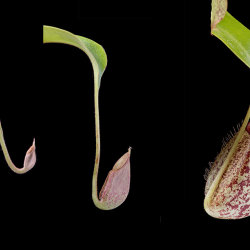 Carnivorous Pitcher Plant: Nepenthes X Hookeriana. Sequence showing development of pitcher.
