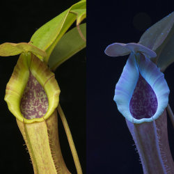 Pitcher Plant: Nepenthes spathulata x (copelandii x truncata). Visible light and fluorescing in UV radiation