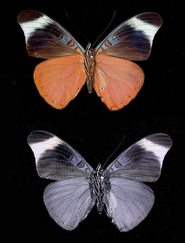 """Red Flasher"" Panacea prola (underside of wings) Peru"