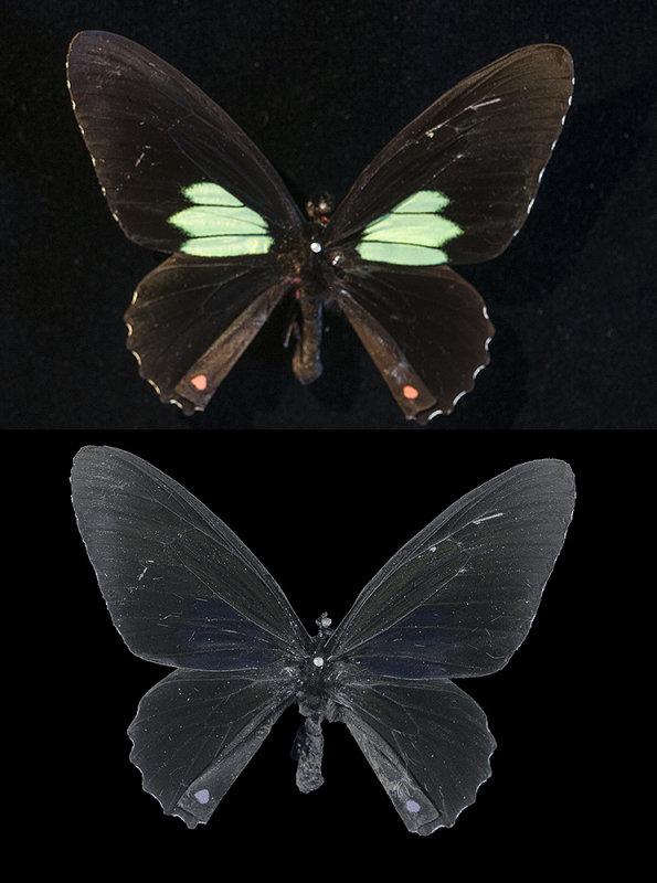 Parides (Papilio) aeneas, from Peru