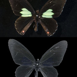 Parides (Papilio) aeneas, from Peru