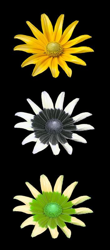 "Rudbeckia hirta ""Prairie Sun"": Visible, UV and ""bee vision"""