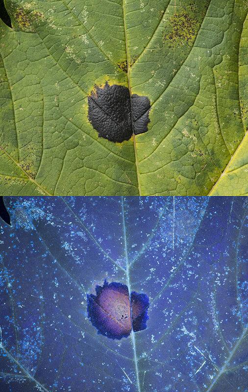 Tar Spot Fungus (Rhytisma acerinum) on Sycamore leaf. Visible light and UV fluorescence