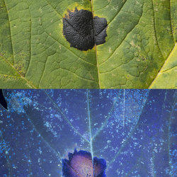 Tar Spot Fungus (Rhytisma acerinum) on Sycamore leaf. Visible light and UV fluorescence