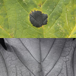 Tar Spot Fungus (Rhytisma acerinum) on Sycamore leaf. Visible and Ultraviolet Reflected.