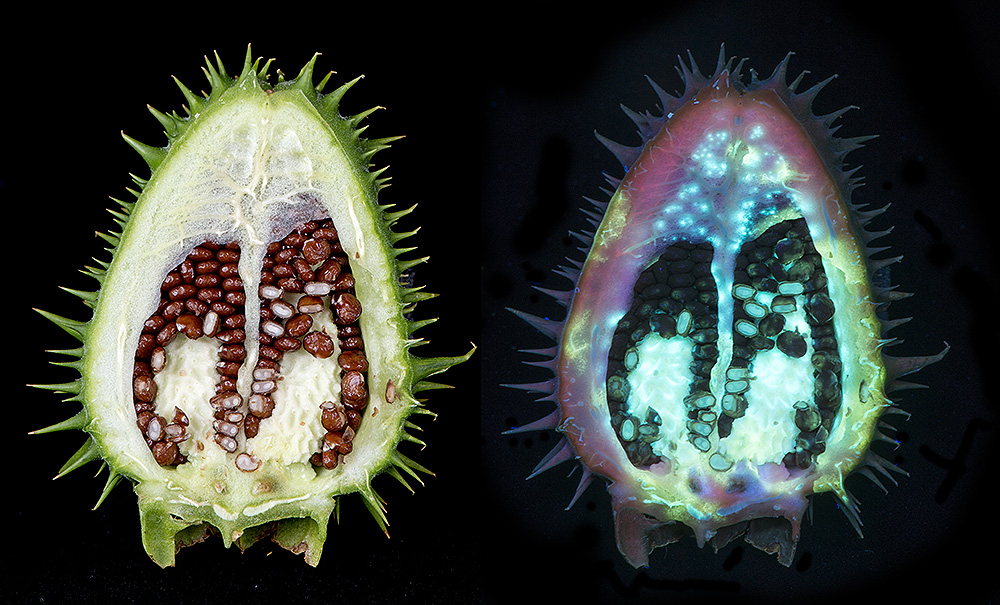 Thorn Apple (Datura stramonium) Interior of seed pod fluorescing in UV.