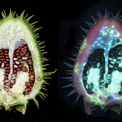 Thorn Apple (Datura stramonium) Interior of seed pod fluorescing in UV.