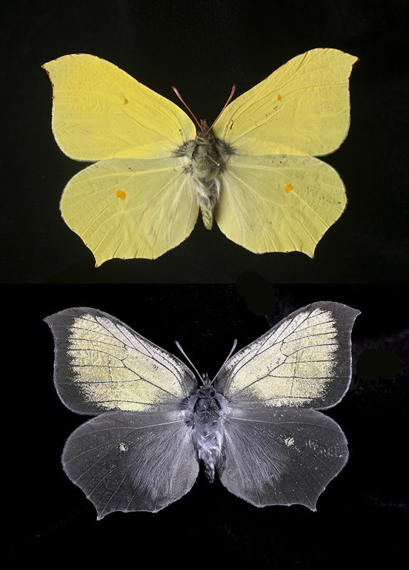 Brimstone Butterfly (Gonepteryx rhamni) in visible and UV reflected light.