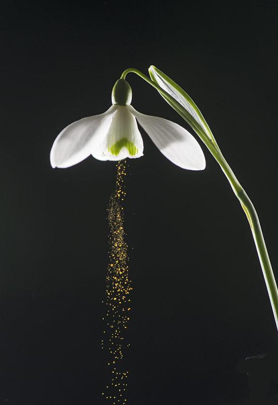 Buzz Pollination:  Snowdrop (Galanthus nivalis)