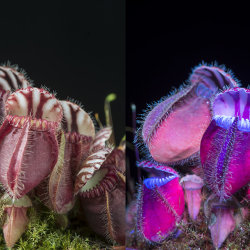 Western Australian Pitcher Plant: Cephalotus folicularis. Visible and UV fluorescence