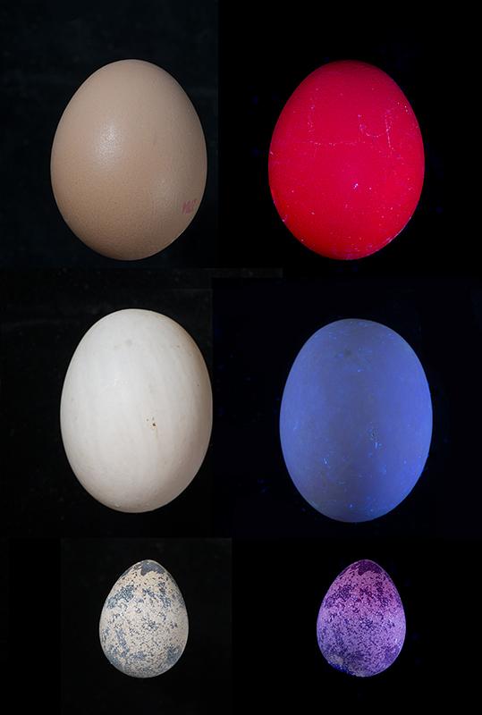 Various eggs fluorescing in UV radiation (365nm)
