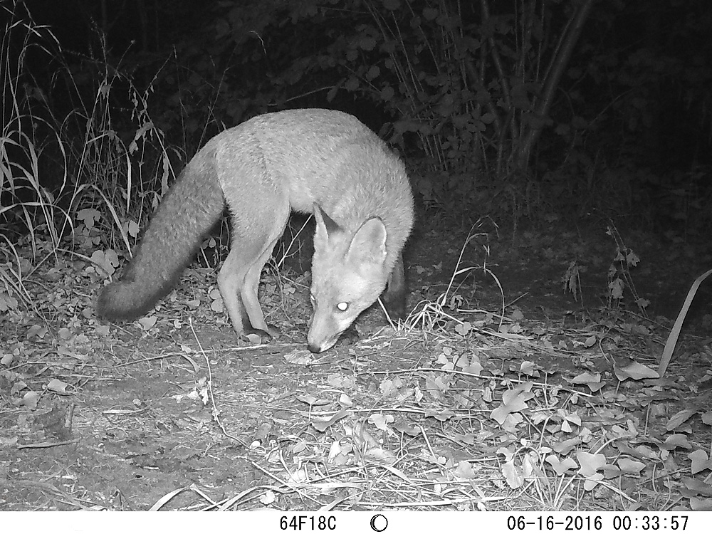 Fox (Vulpes vulpes) caught by an infrared Trail Camera