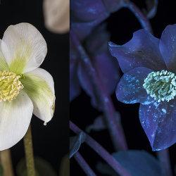 Helleborus niger. Pollen fluorescing in UV.