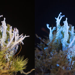 Lichen (Cladonia squamosa) in visible and UV fluorescence