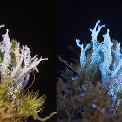 Lichen (Cladonia squamosa) in visible and UV fluorescence