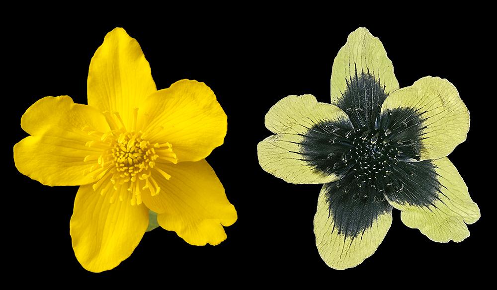 Marsh Marigold (Caltha palustris) in visible and UV reflected.