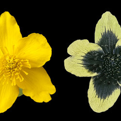 Marsh Marigold (Caltha palustris) in visible and UV reflected.