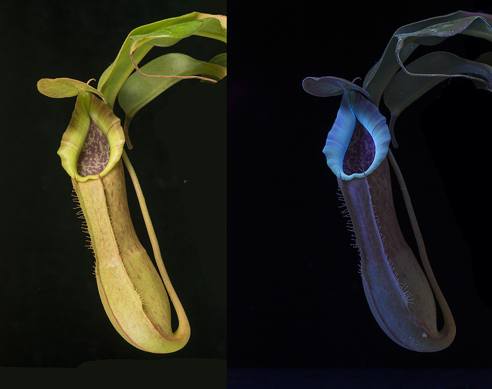 Carnivorous plant: Nepenthes fusca, in visible light, and fluorescing in UV.