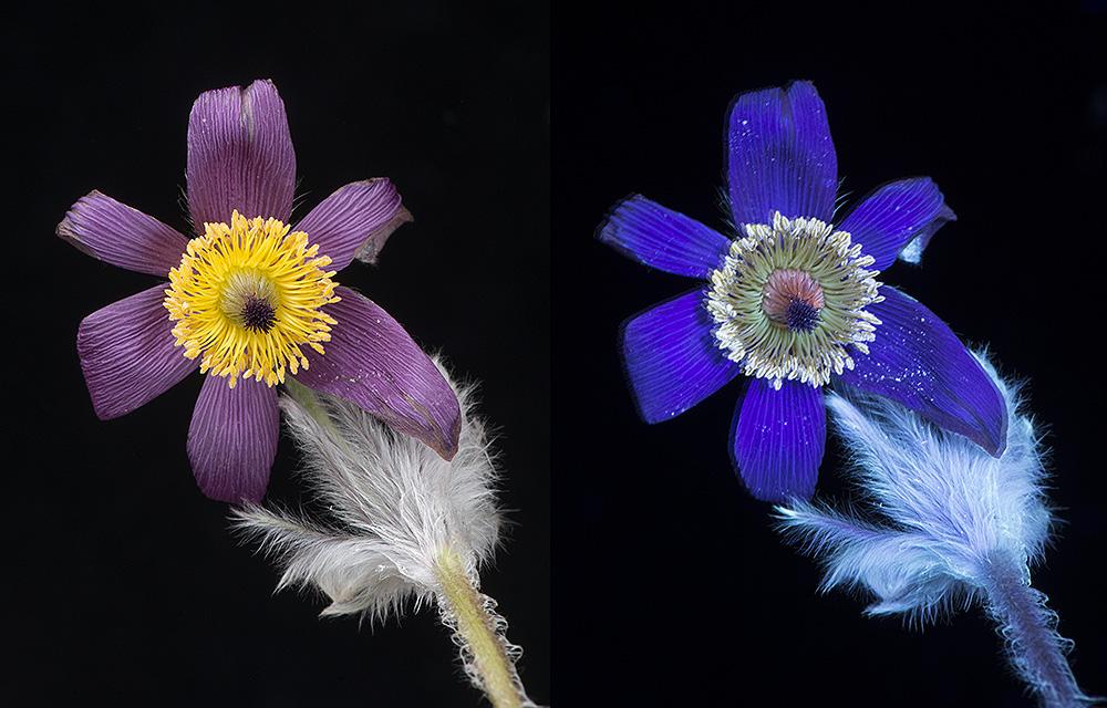 Pasque Flower (Pulsatilla vulgaris) in visible light and UV fluorescence