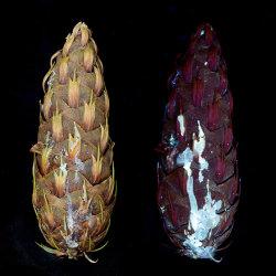 Cone of Fir Tree (Abies sp.) Resin fluorescing in UV light.