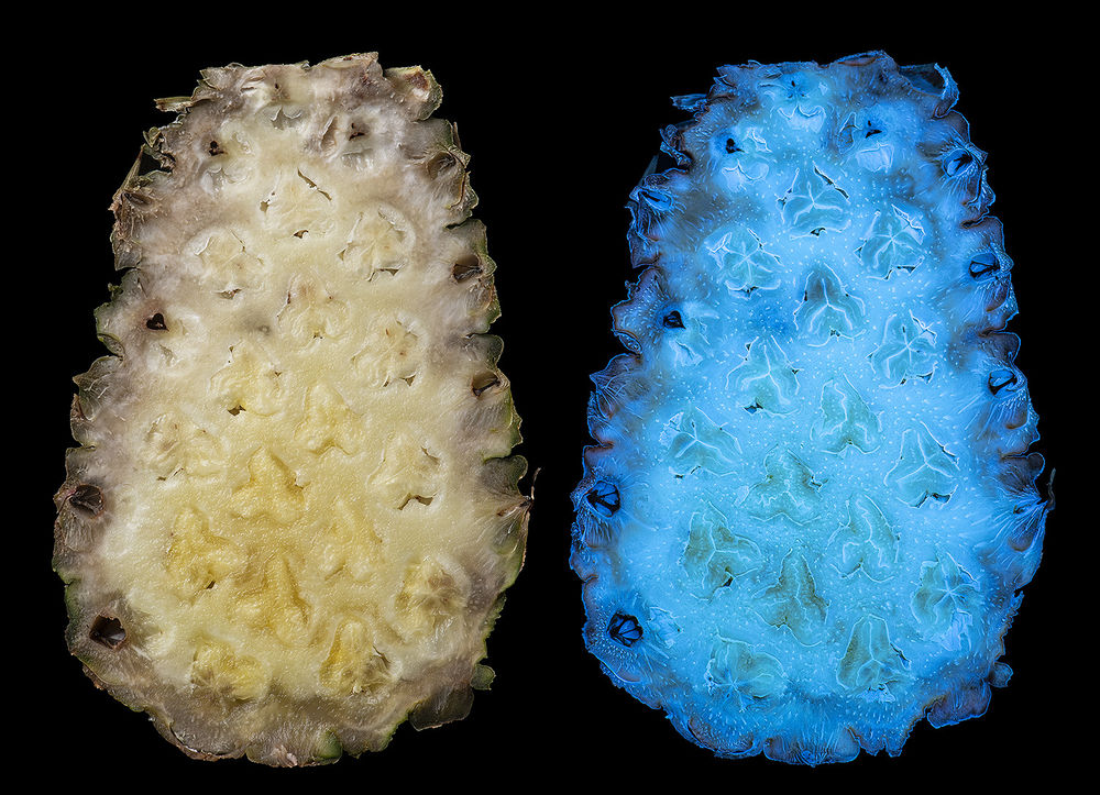 Pineapple (Ananas comosus) in visible and UV fluorescence