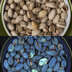 Pistachio nuts in visible and UV fluorescence, showing the possible presence of aflatoxin on some of the nuts
