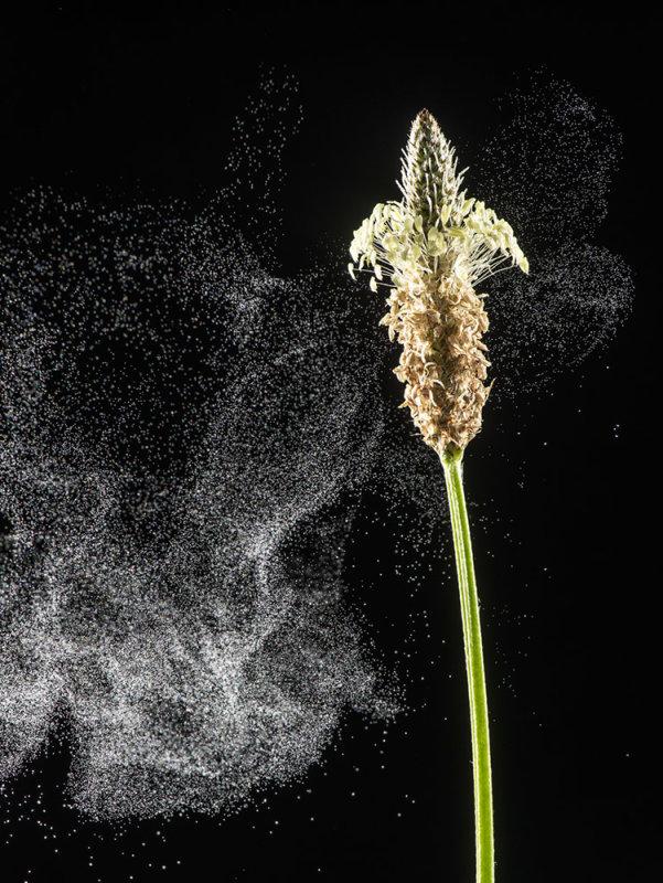 Ribwort Plantain: Plantago lanceolata. Dispersing pollen in breeze.