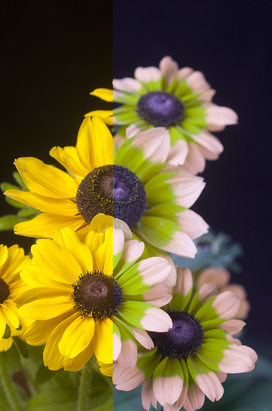 "Rudbeckia ""Lemon Toto"" in visible light and ""bee vision"""