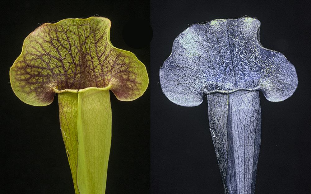 Sarracenia x Swaniana x (x mitchelliana). Visible light and UV