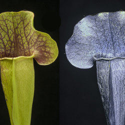 Sarracenia x Swaniana x (x mitchelliana). Visible light and UV