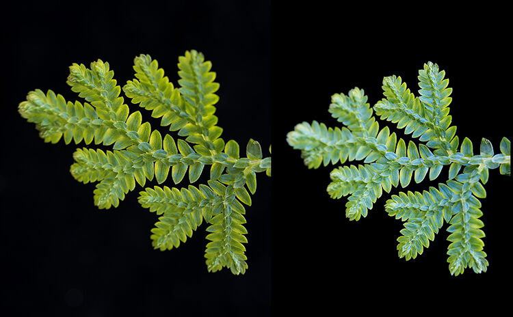 Peacock Moss: Selaginella uncinata. Leaves shot at different angles to show iridescence