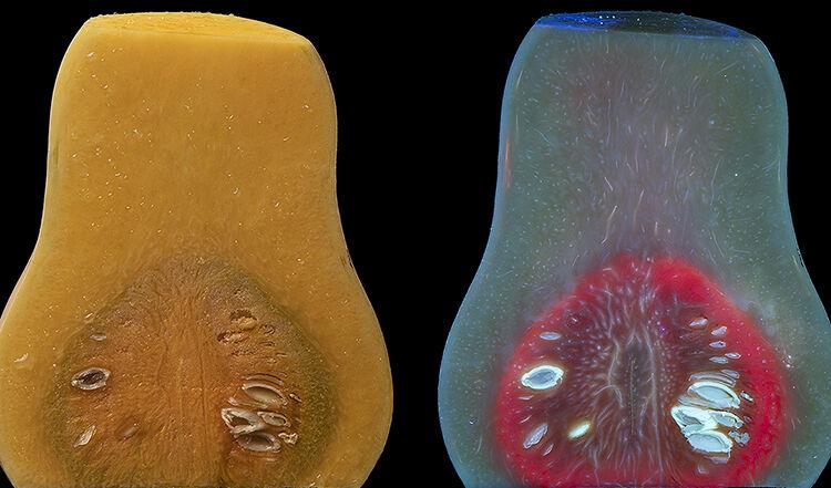 Butternut Squash (Cucurbita moschata) in visible and fluorescing in UV.