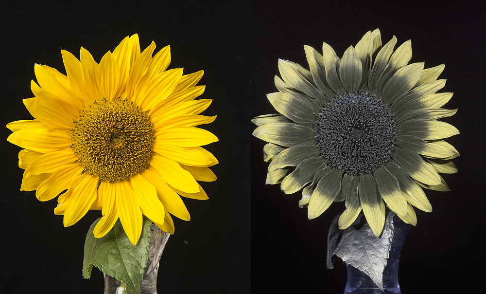 """Sunflower (Helianthus sp.) in visible and UV (""""white balanced"""")"""