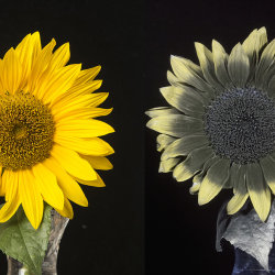 "Sunflower (Helianthus sp.) in visible and UV (""white balanced"")"