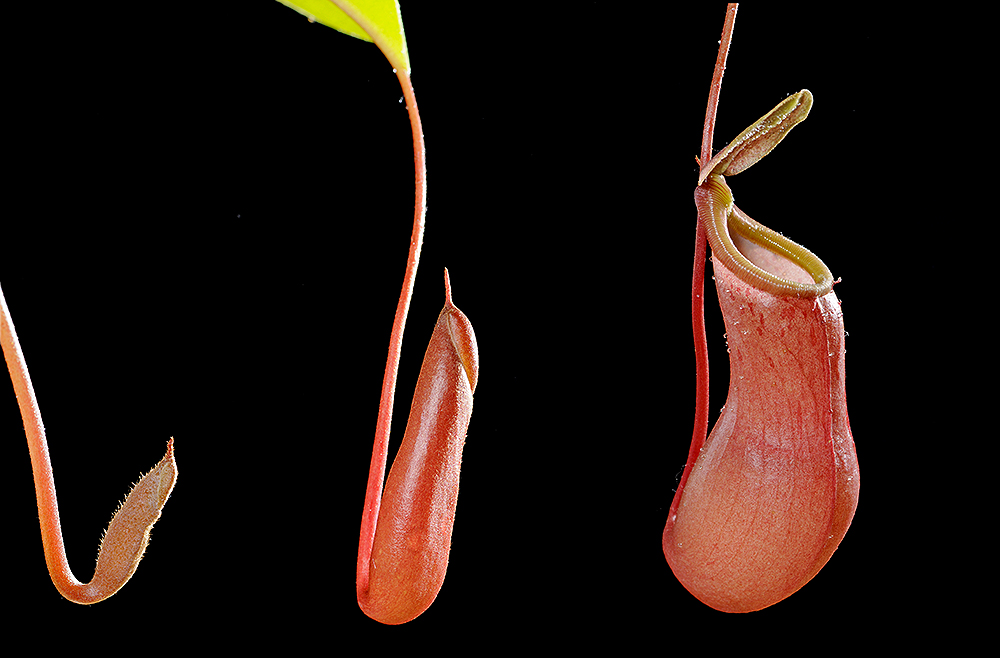 Pitcher of the carnivorous plant: Nepenthes alata developing