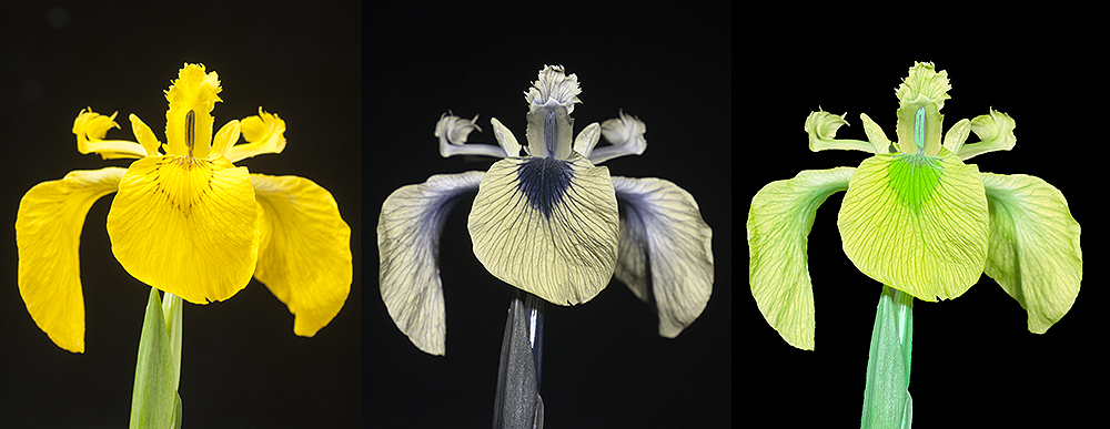 "Yellow Iris (Iris pseudacorus) in visible, light, UV, and ""bee vision"""