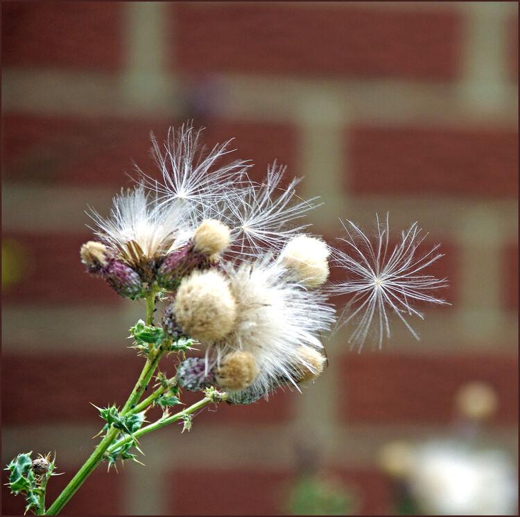 Angela Mulligan Thistle Seeds T