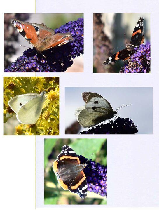 Les Butterflies St.H