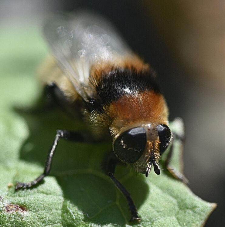 Melvyn Wall Honey Bee2 St.H