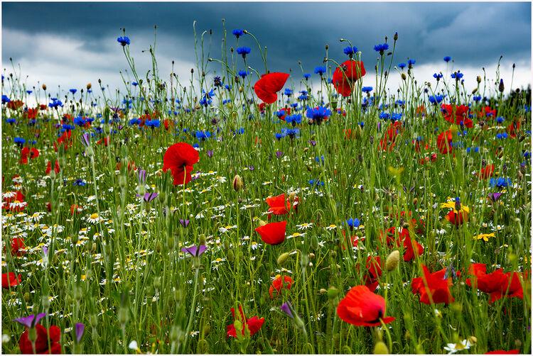 8c Wildflower Meadow M6 L IWPS