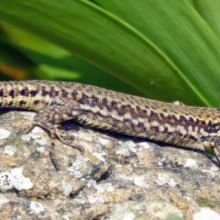 Terry Harlow Wall Lizard at Steep hill Cove M2