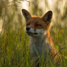 michael wort Inquisitive Fox NW