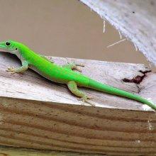 robert skinner Green-gecko-M3