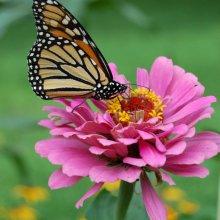 robert skinner Monarch at butterfly world M3