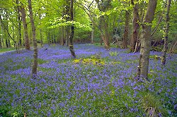 Bluebell flowers & Wood